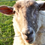 up-close-with-the-sheep